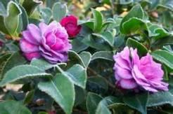 a-camellia-image