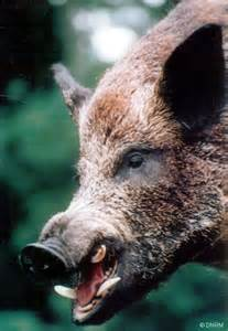 a-feral-pig