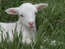 a-innocent-lamb