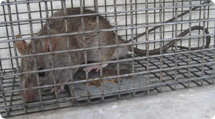 a-ratcage