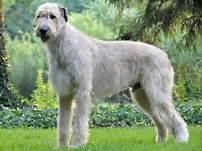 irish-wolfhound